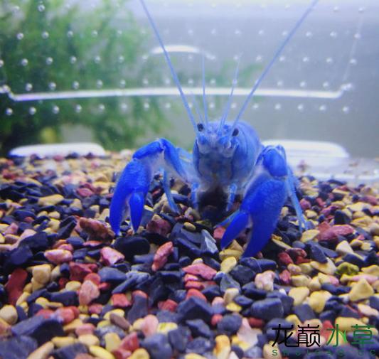 蓝魔虾11.png