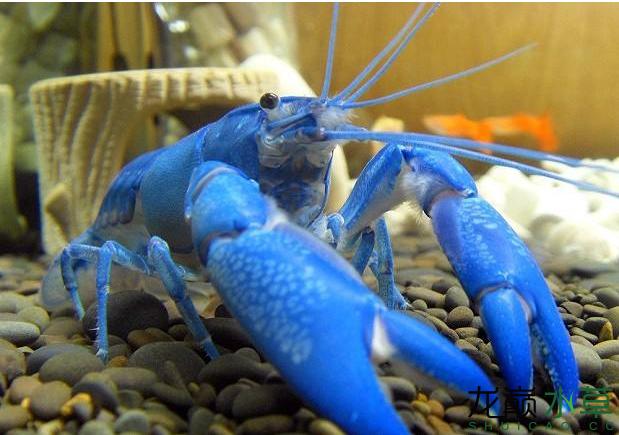 蓝魔虾1.png