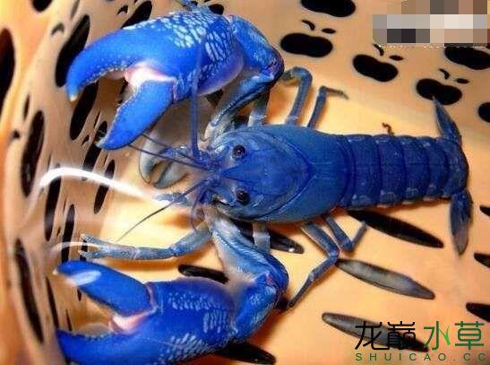 蓝魔虾2.jpg
