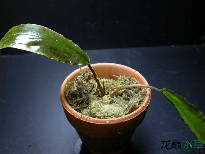 拟印度芭蕉草.jpg