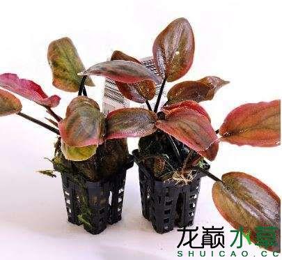 红芭蕉草.JPG