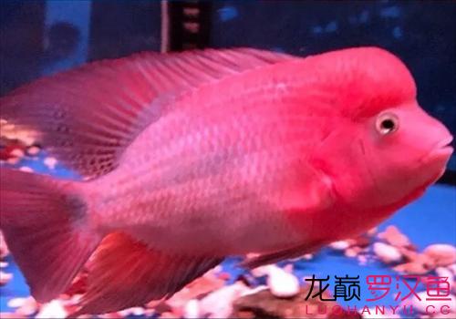 周日鱼邻直播教你养罗汉了 西宁观赏鱼 西宁龙鱼第7张