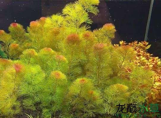 黄菊.JPG