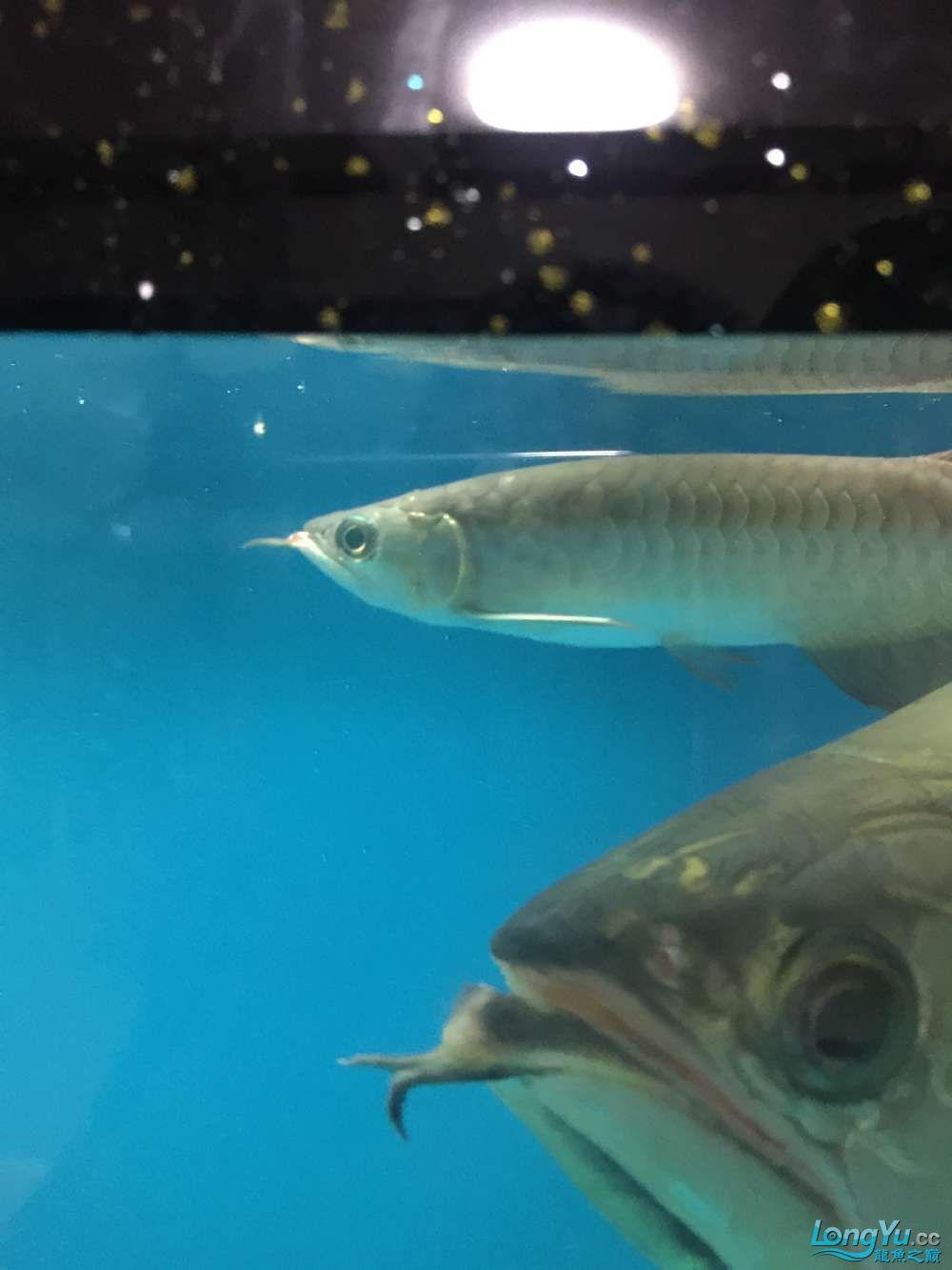小红龙鳃盖的上的金色小点是什么病 杭州龙鱼论坛 杭州龙鱼第2张