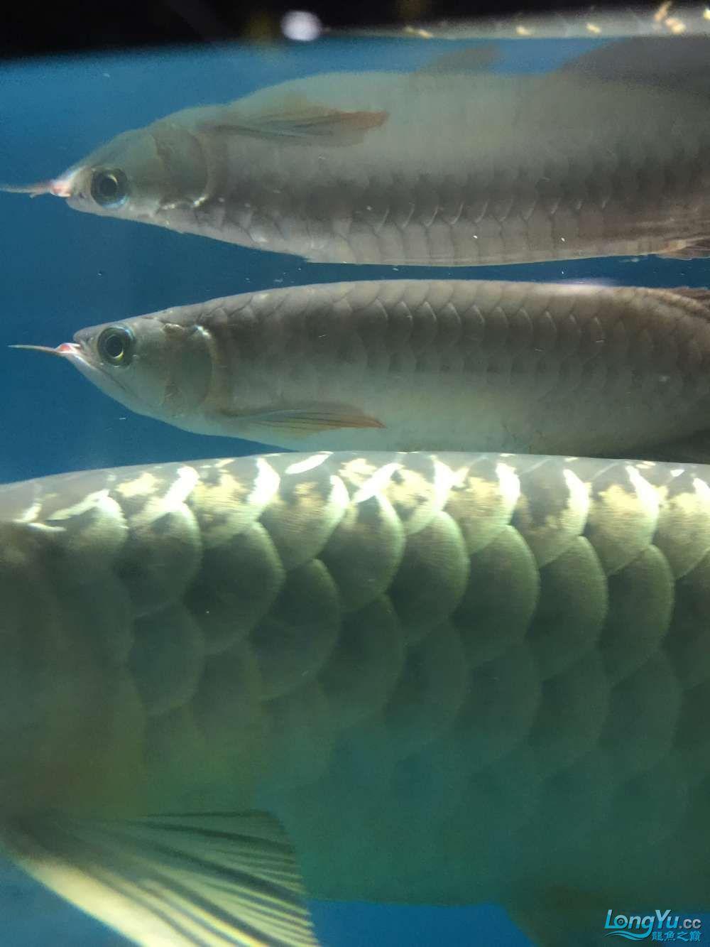 小红龙鳃盖的上的金色小点是什么病 杭州龙鱼论坛 杭州龙鱼第3张