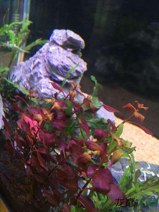 求助紫红丁香变绿 银川水族批发市场 银川龙鱼第2张