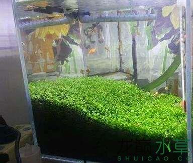 水草养殖:爬地矮珍珠种植经验技巧分享 武汉水族批发市场 武汉龙鱼第1张