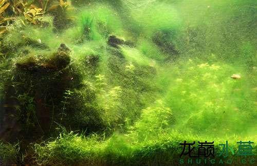 绿尘藻1.jpg