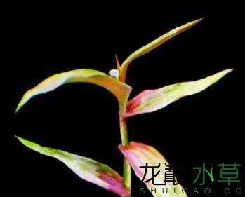 紫红荩草.jpg