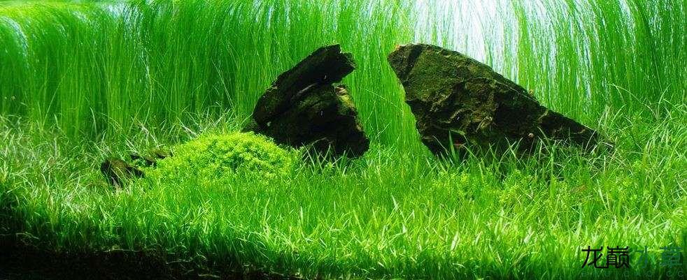 南美草皮草坪.JPG