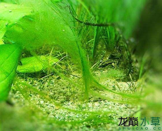 丝藻.jpg