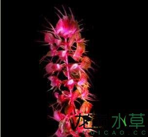 红貉藻.jpg