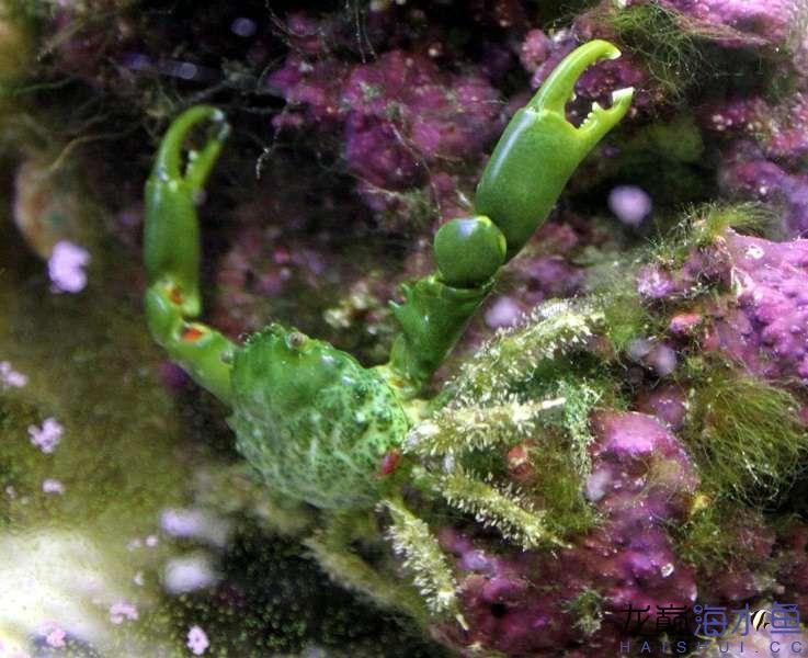 Emerald-Crab-Mithraculus-sculptus.jpg