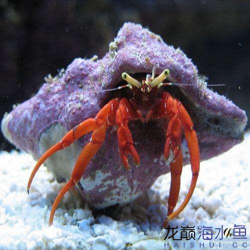 hermit-crab-red-leg-paguristes-cadenati_grande.jpg
