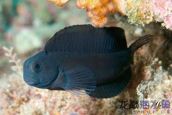 black-sailfin-blenny-atrosalarias-fuscus-1.jpg