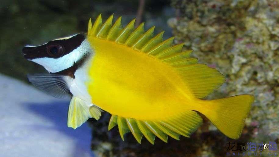 Siganus-vulpinus-Beautiful-Marine-fish-3840x2400-915x515.jpg