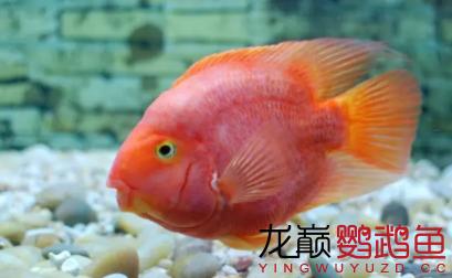 谈谈小缸饲养鹦鹉鱼的一些经验和心得.png