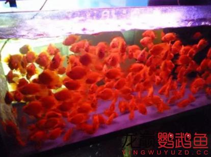 谈谈小缸饲养鹦鹉鱼的一些经验和心得1.png