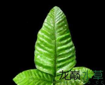 泰国三叶蕨.jpg
