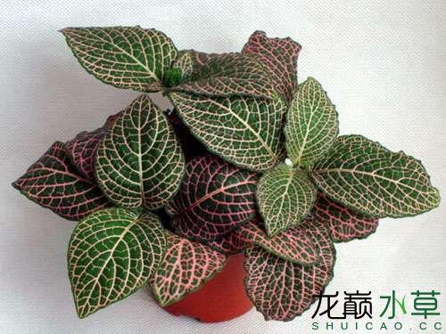 红网纹草3.jpg