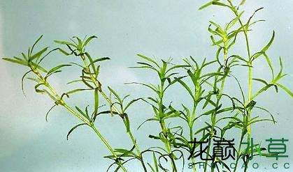 小竹节.jpg