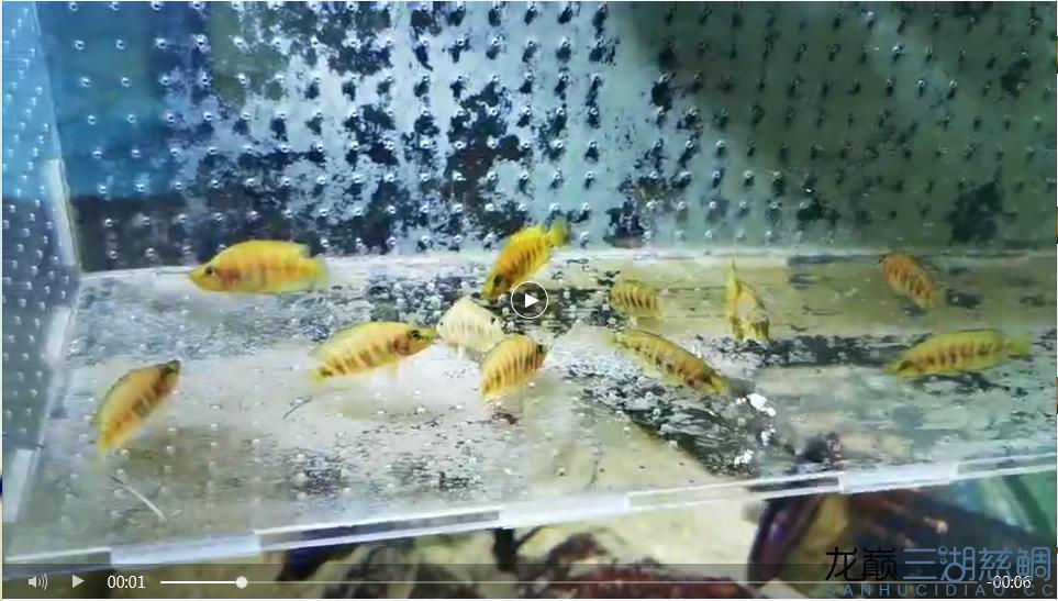 12条黄金虎4+