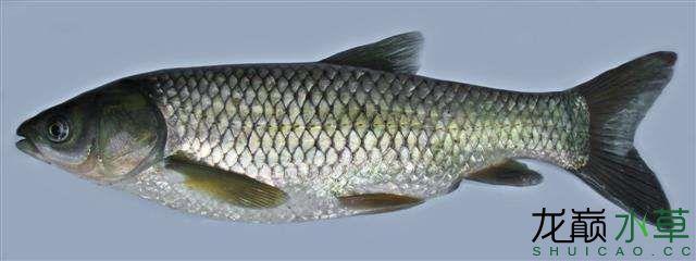 草鱼1.jpg