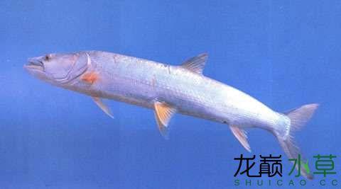 鳡鱼1.jpg