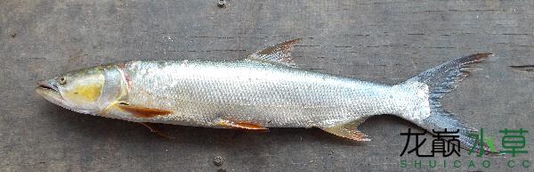 鳡鱼2.png