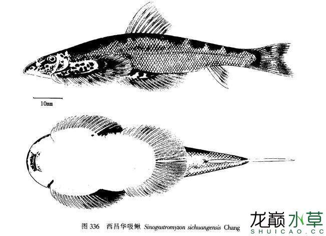 西昌华吸鳅2.jpg