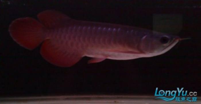 刚到家的YUKI超血和9个月的3无宝石 绵阳龙鱼论坛 绵阳水族批发市场第1张