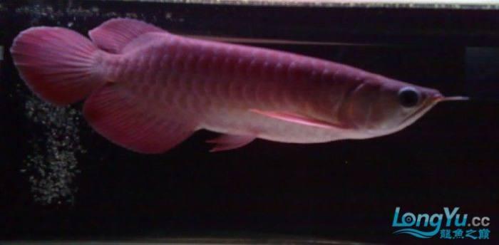 刚到家的YUKI超血和9个月的3无宝石 绵阳龙鱼论坛 绵阳水族批发市场第3张