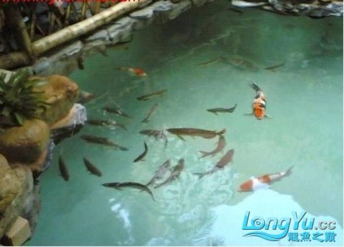 锦鲤和龙鱼混养!!! 绵阳龙鱼论坛 绵阳水族批发市场第1张