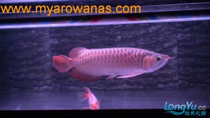 红龙30厘米,请大家帮忙看看这鱼怎么样,我想买!谢谢了 绵阳龙鱼论坛 绵阳水族批发市场第4张