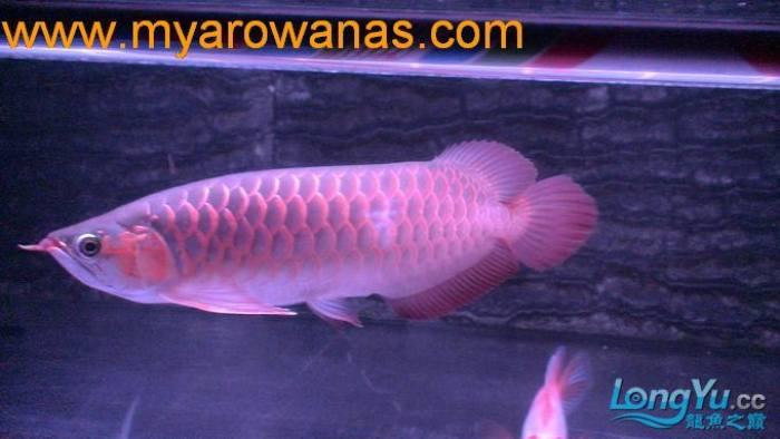 红龙30厘米,请大家帮忙看看这鱼怎么样,我想买!谢谢了 绵阳龙鱼论坛 绵阳水族批发市场第3张