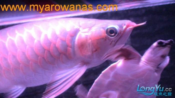 红龙30厘米,请大家帮忙看看这鱼怎么样,我想买!谢谢了 绵阳龙鱼论坛 绵阳水族批发市场第6张