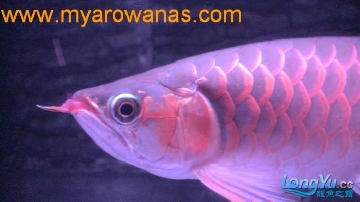 红龙30厘米,请大家帮忙看看这鱼怎么样,我想买!谢谢了 绵阳龙鱼论坛 绵阳水族批发市场第1张