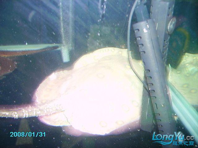 看看台湾的白化魟 南充观赏鱼 南充水族批发市场第4张