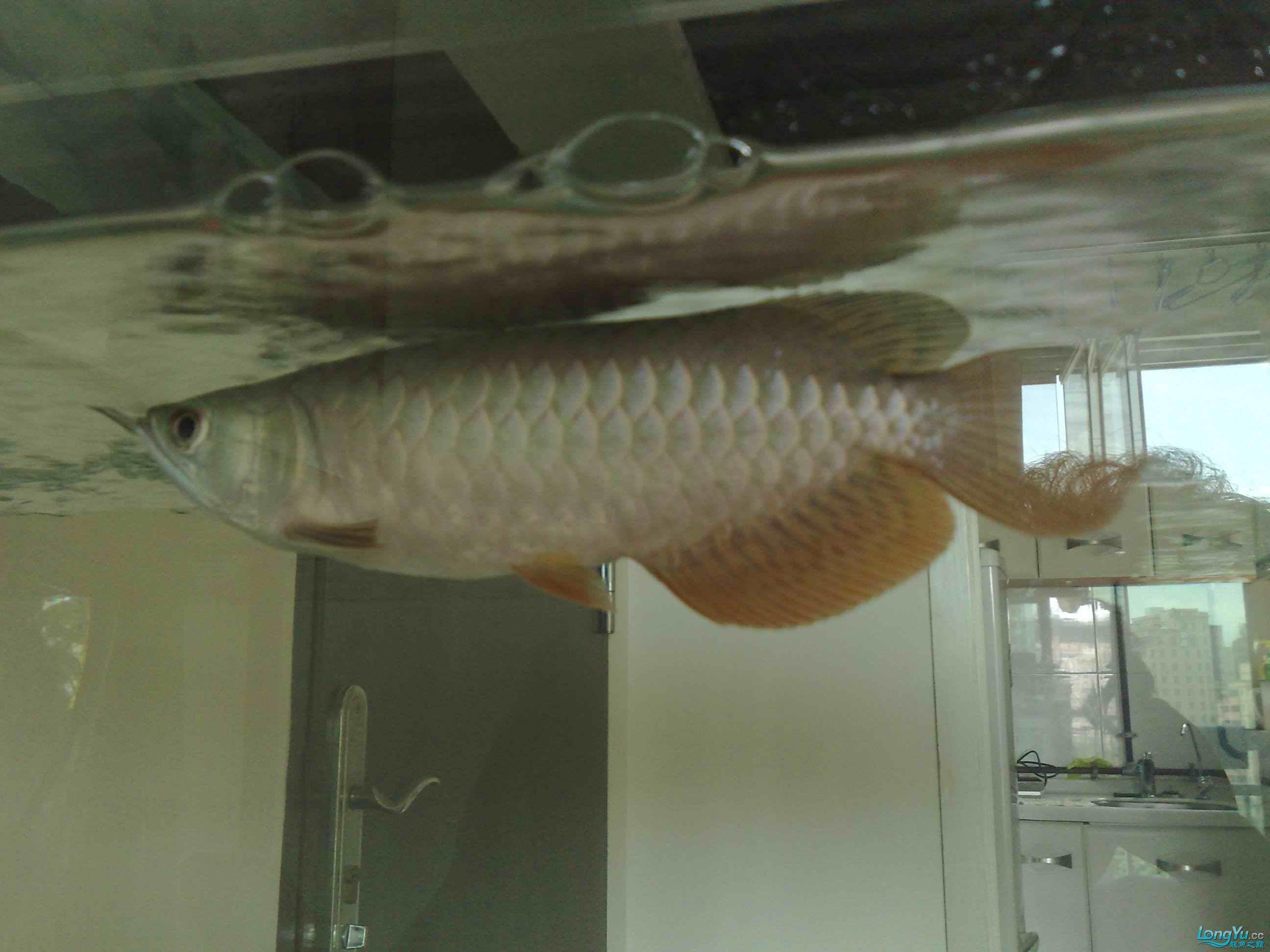 小宝石是否开始爬框了 重庆观赏鱼 重庆水族批发市场第1张