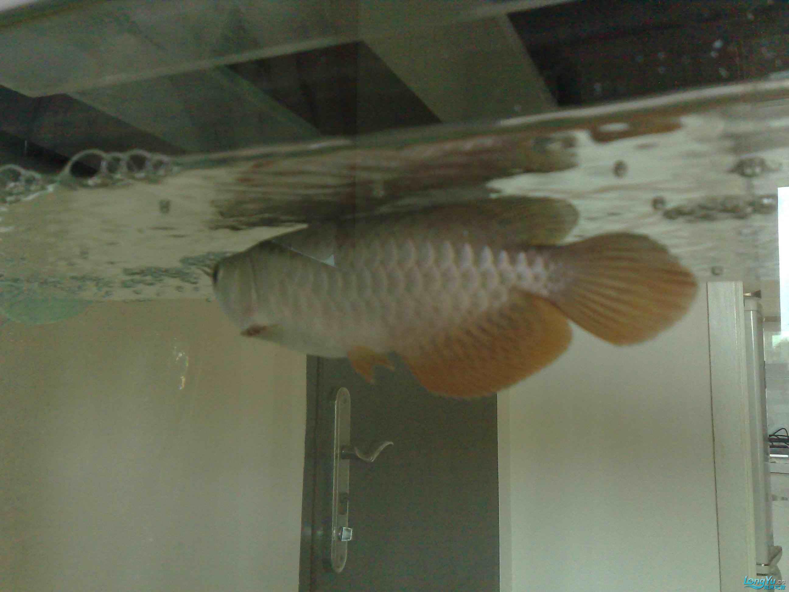 小宝石是否开始爬框了 重庆观赏鱼 重庆水族批发市场第3张