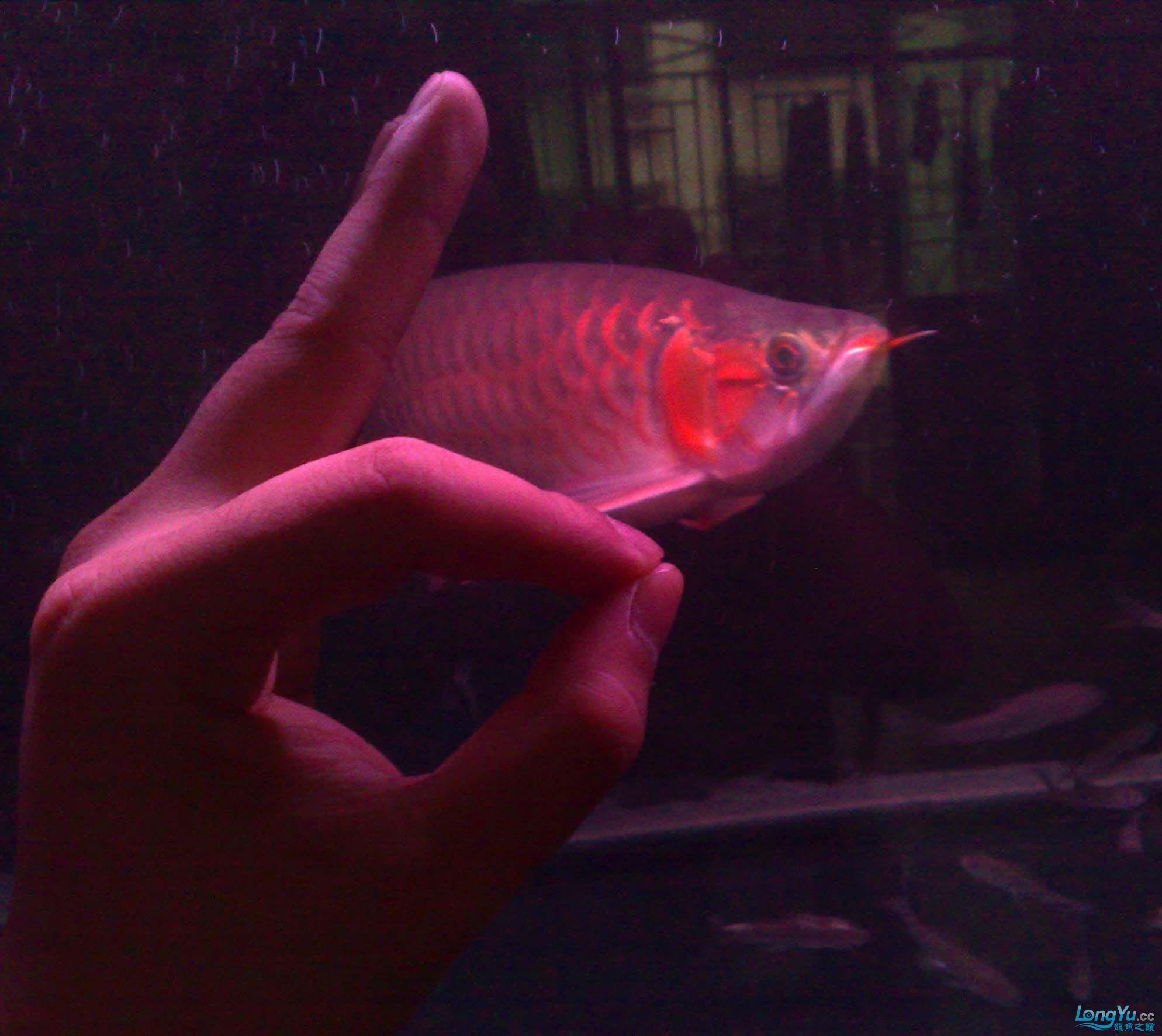 我的龙魟也来参加大阅兵,谢谢大家支持!! 重庆观赏鱼 重庆水族批发市场第5张