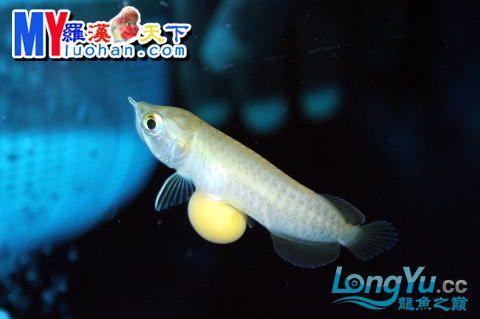 龙之诞生————最初的五十一日 重庆龙鱼论坛 重庆水族批发市场第31张