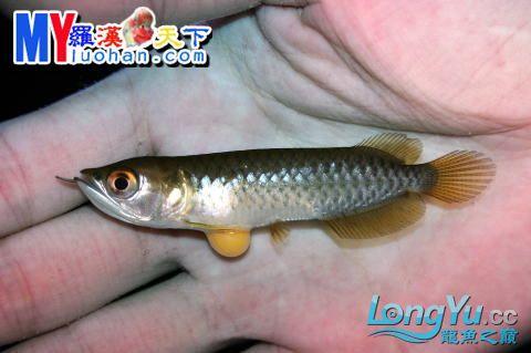 龙之诞生————最初的五十一日 重庆龙鱼论坛 重庆水族批发市场第42张