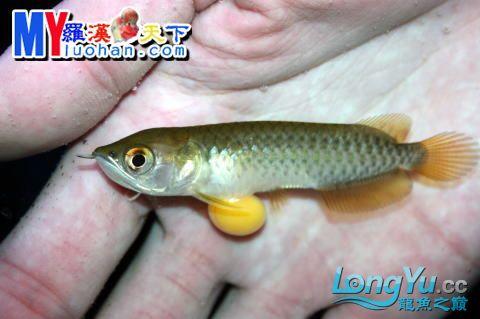 龙之诞生————最初的五十一日 重庆龙鱼论坛 重庆水族批发市场第37张