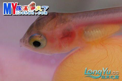 龙之诞生————最初的五十一日 重庆龙鱼论坛 重庆水族批发市场第6张
