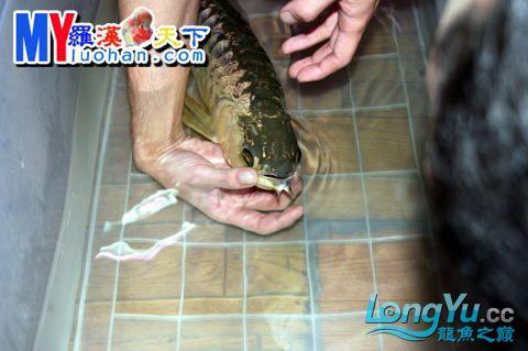 龙之诞生————最初的五十一日 重庆龙鱼论坛 重庆水族批发市场第47张