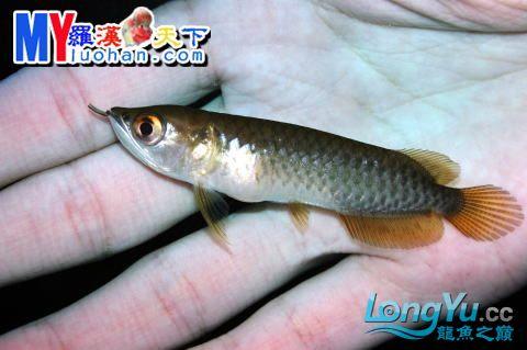 龙之诞生————最初的五十一日 重庆龙鱼论坛 重庆水族批发市场第45张