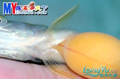 龙之诞生————最初的五十一日 重庆龙鱼论坛 重庆水族批发市场第30张