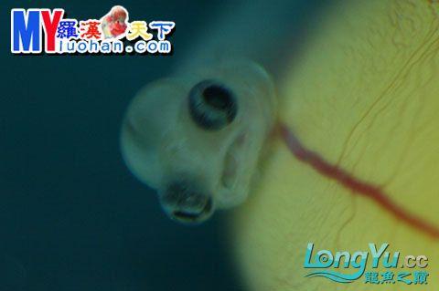 龙之诞生————最初的五十一日 重庆龙鱼论坛 重庆水族批发市场第54张