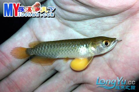 龙之诞生————最初的五十一日 重庆龙鱼论坛 重庆水族批发市场第35张